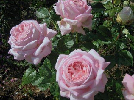Роза Муриам (Myriam) купить, недорого, отзывы
