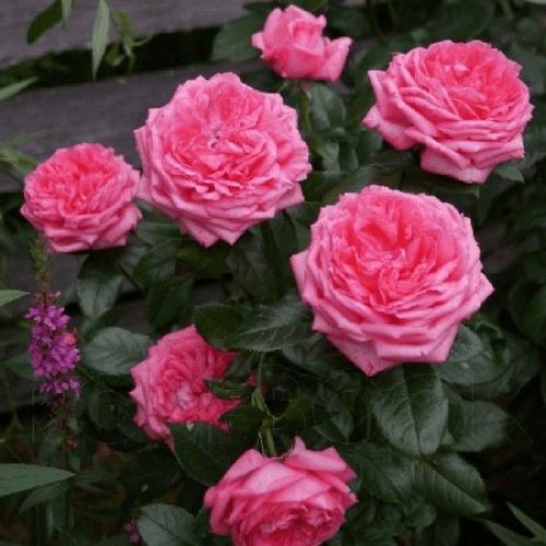 Роза Ля Роз де Молинар (La Rose de Molinard) купить, недорого, отзывы