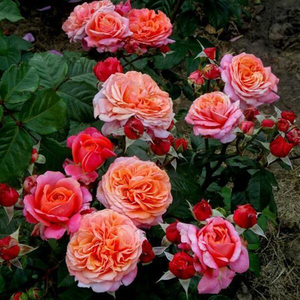 Роза Чиппендейл (Chippendale) купить, недорого, отзывы