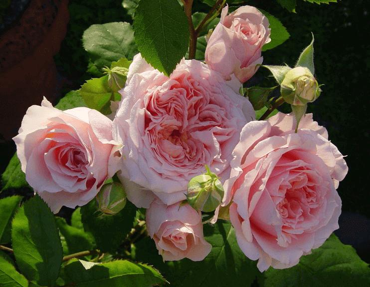 Роза Поль Бокюз (Paul Bocuse) купить, недорого, отзывы